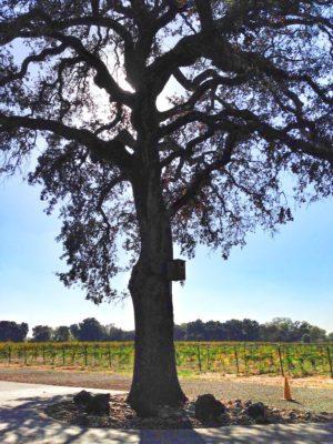 Blue Oak at Heritage Oak Vineyard