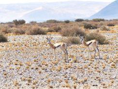 More springbok