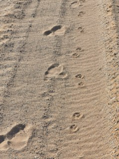 Ostrich and aardwolf tracks