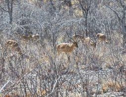 Black faced impala