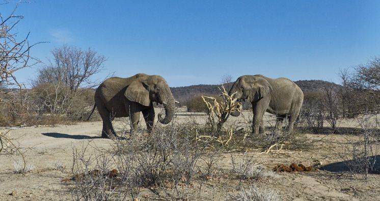 Elephants in Ongava