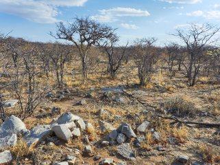 Mopane bush