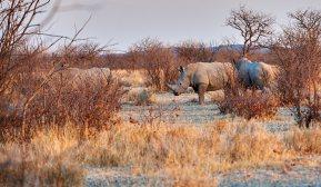 Rhino in Ongava