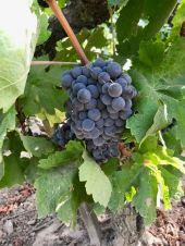 Carignane grape cluster