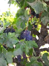 Carignane grapes