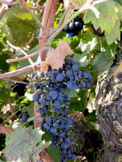 Marians Vineyard Zin on the vine