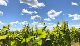 Grapevines and clouds