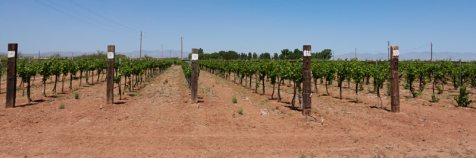 Willcox area vineyard