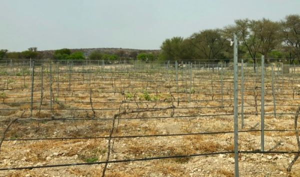 Erongo gapevines leafing out in late September