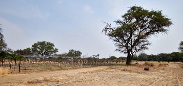 Tinta Barroca vineyard