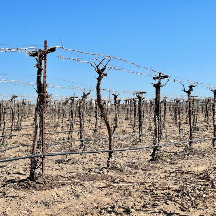 Regenerative viticulture test block photo