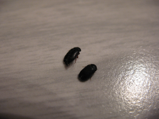 little black bugs beetles 6 small black beetle like bug house bugs  Tiny  Black Bugs. Small Flying Bugs In House