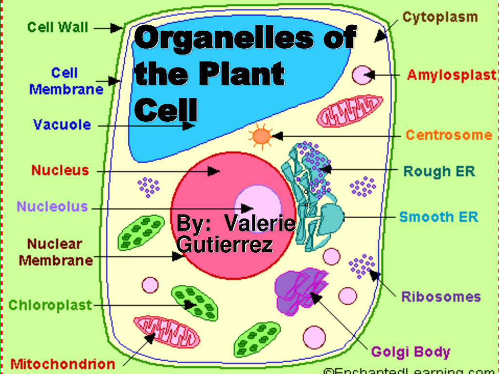 5 Pictures Of Plant Cell Organelles Biological Science