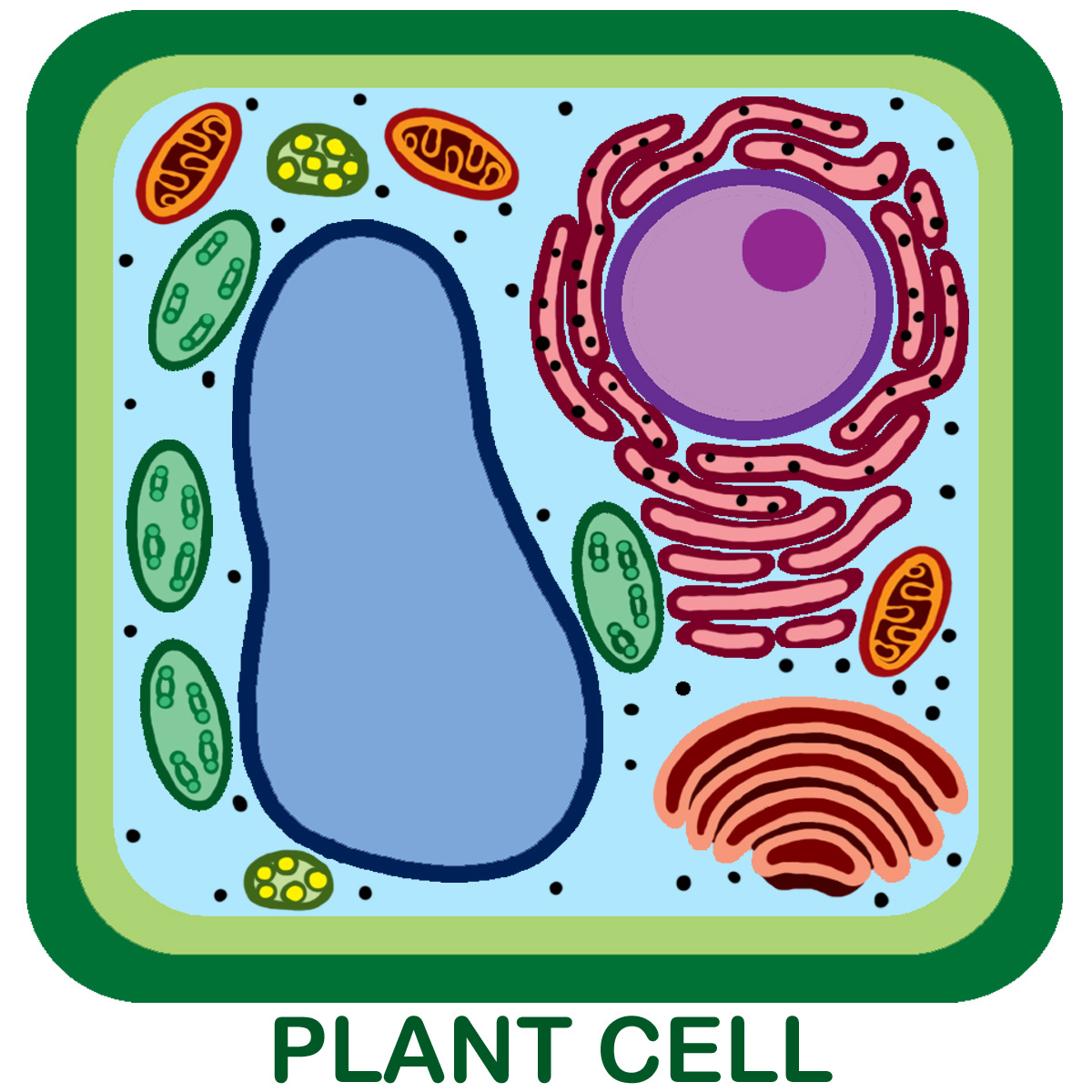 Unlabeled Plant Cell Pic 1 Biological Science Picture