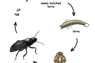 Carpet Beetle Life Cycle Beetles 5 Cycles Diagrams