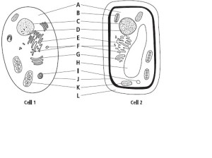 Parts of a Cell (Plant and Animal) Quiz  By Mr_Koonce