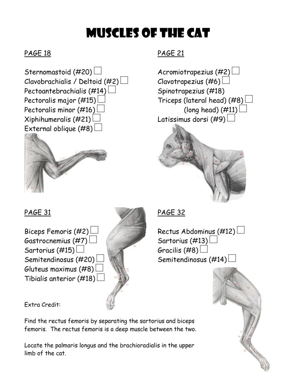 Cat Muscle Work Template Biological Science Picture