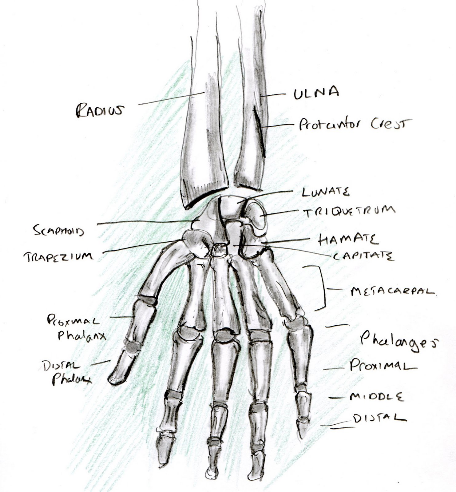 Learning A Human Skeleton Hand Biological Science