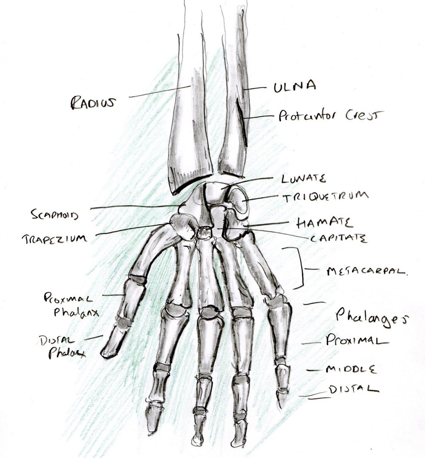 Learning A Human Skeleton Hand 4 Human Skeleton Hand