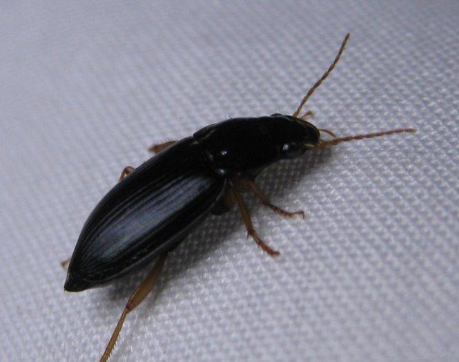 Little Black Bugs In Bathroom. Small Black Bugs In Bedroom And Bathroom   Bedroom Style Ideas