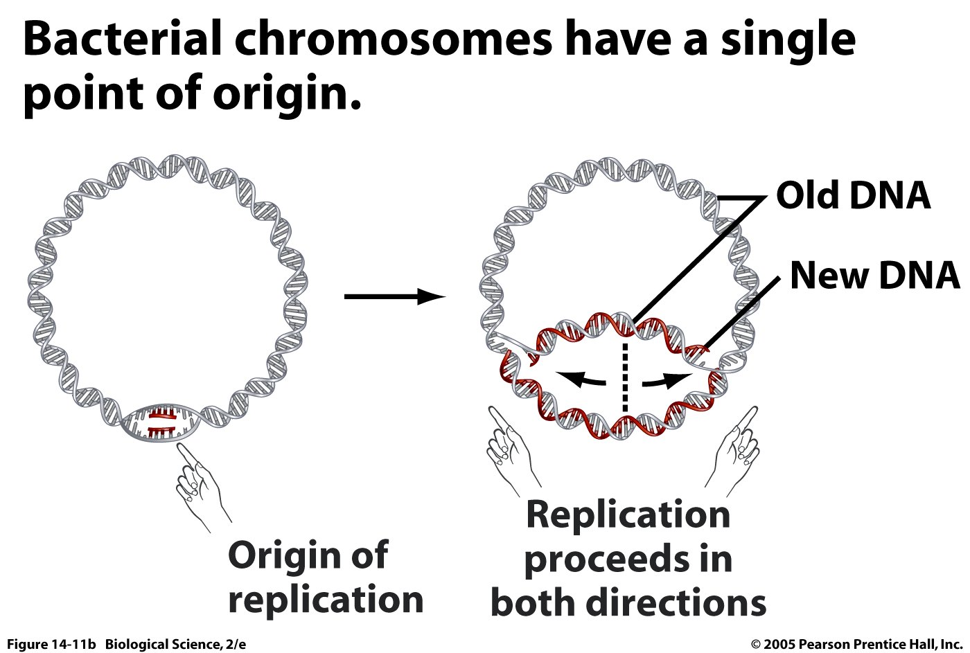 Dna Replication Biological Science Picture Directory