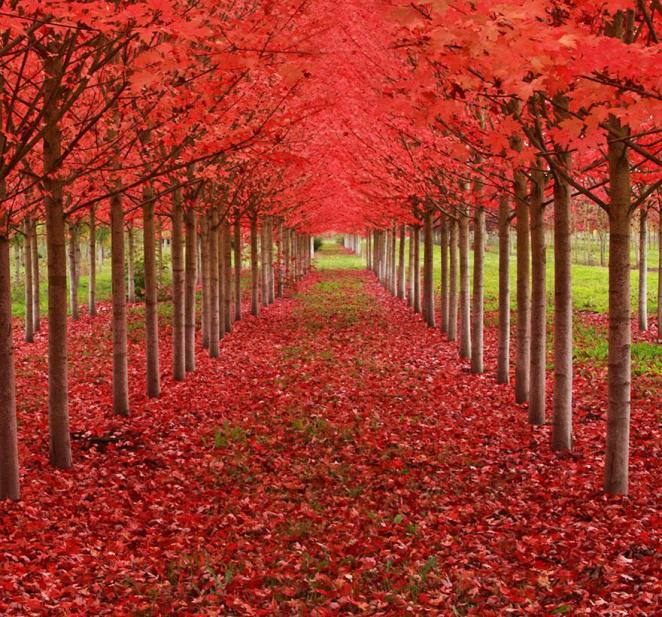 14 - Maple Tunnel in St Louis Oregon USA