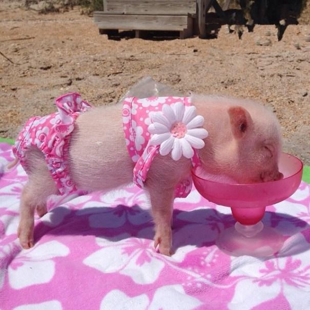 Meet Priscilla The Cutest Pig In The World Pulptastic
