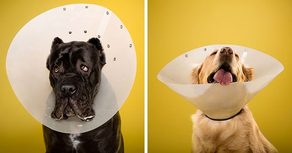 inside the plastic prison: ty foster photographs dogs in cones