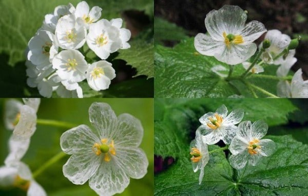 Amazing white skeleton flower turns completely transparent in the rain here you can see the flowers in various states of dampness mightylinksfo