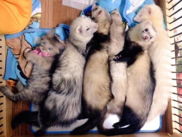 Rescue Kitten Adopted By Six Ferret Older Brothers Thinks Its A - Rescued kitten adopted by ferrets now thinks shes a ferret too