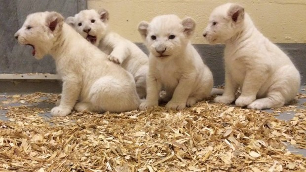 Toronto Zoo's 8-Week-Old Rare White Lion Cubs Are The Cutest Thing