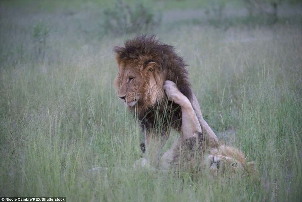 Homosexual lions mating