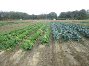 Tristan Madden/ Pulsefeedz Broccoli and cabbage growing on the Terp Farm