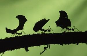 hormigas-llevando-hojas_0