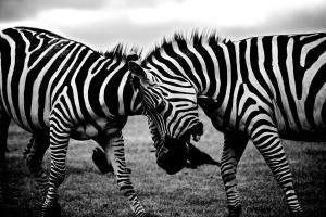 zebras-clash
