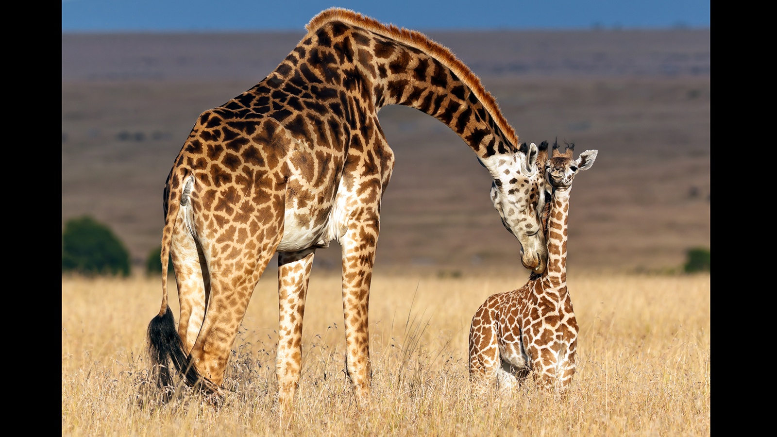 15 Interesting Facts About Giraffes You May Have Never Known