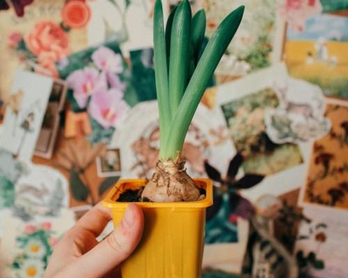 Вырастить гиацинты в доме