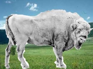 buffalo-in-pasture