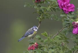 Blaumeise, Parus caeruleus ( (Foto: F. Hecker))
