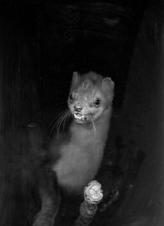 Fotó: Hodosy Enikő: Az 'Animalia variabilis' című sorozatból (Mustela)