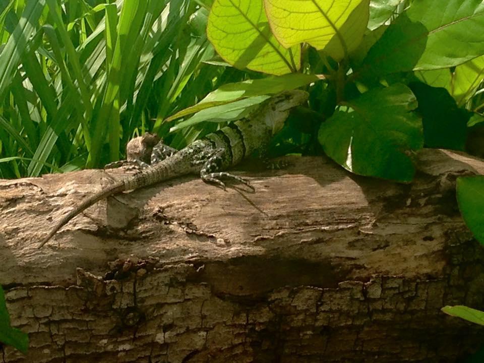 Iguana a Celestun