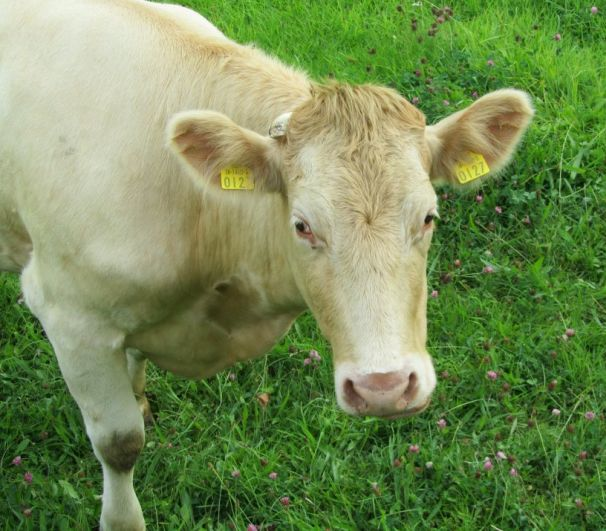 Una mucca fra le migliaia presenti in Irlanda