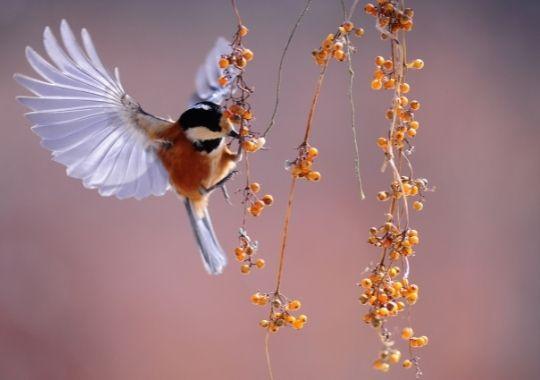 canti degli uccelli