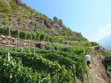 nelle-vigne-di-Siro-Buzzetti
