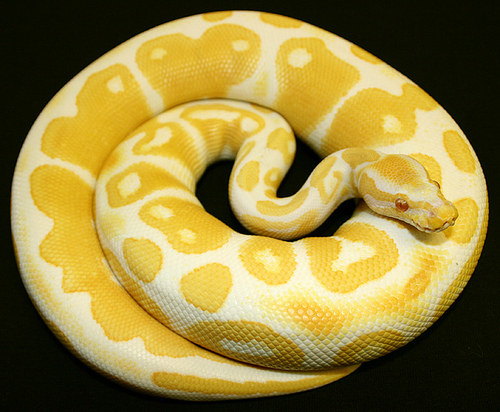 albino-ball-python