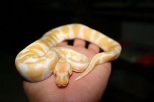 ball-python-handling