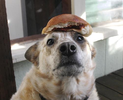 heeler-dog-with-food-on-head