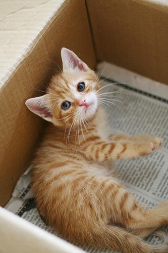 orange-tabby-kitten-in-box