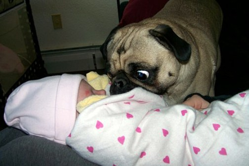 Pug astonished by new baby