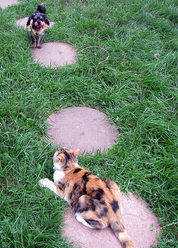 Cute funny Calico cat and Yorkie-poo dog - Dude, I'm telling you these are alien crop circles.